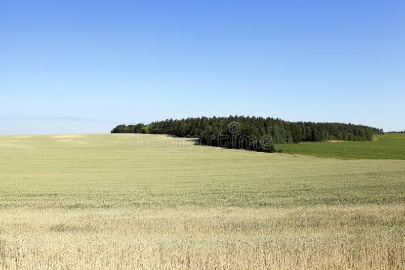 Cereales del campo de granja fotografía de archivo libre de regalías