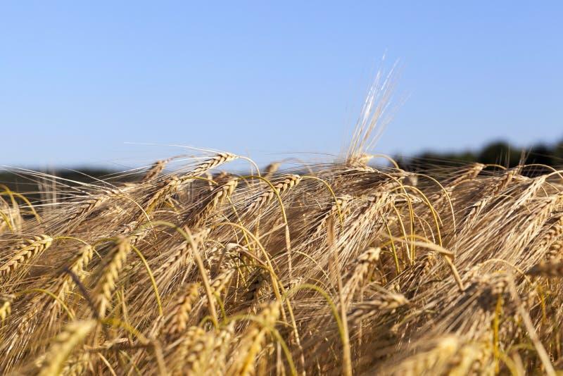 Cereales del campo de granja imagenes de archivo