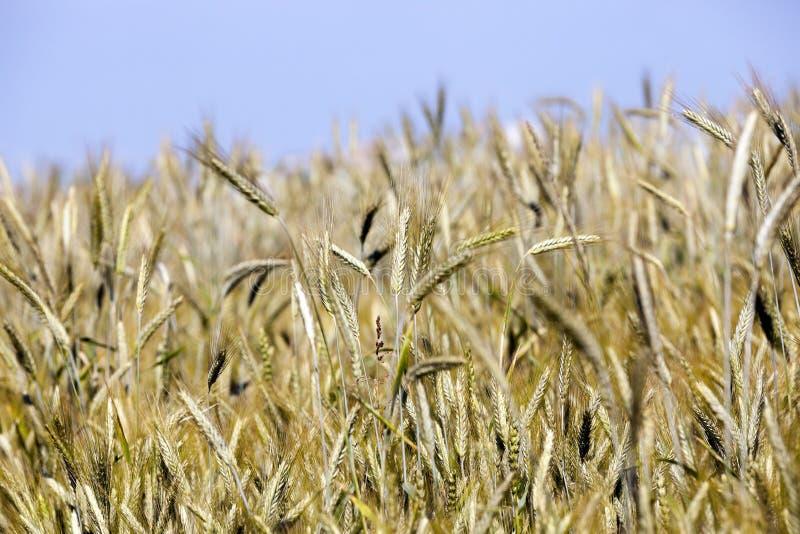 Cereales del campo de granja fotos de archivo