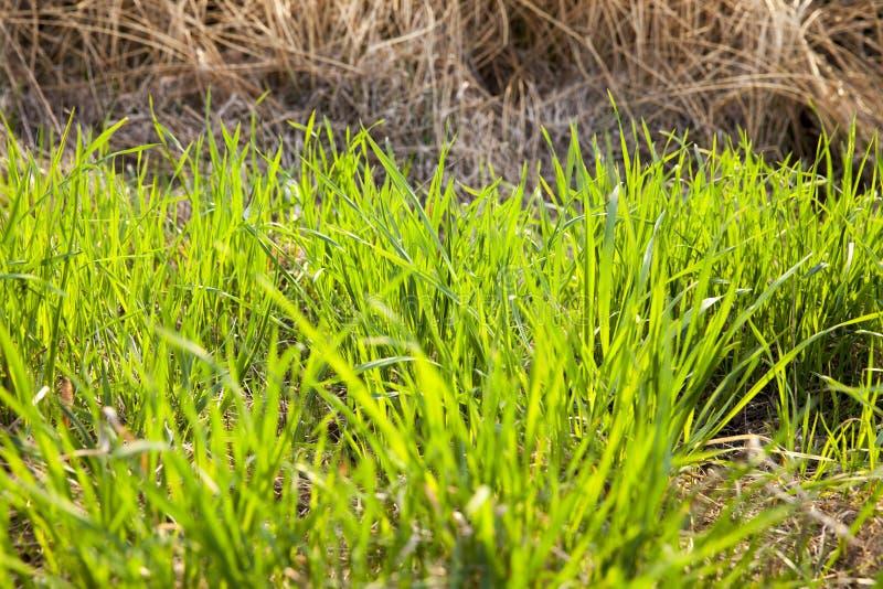 cereales verdes jovenes fotos de archivo