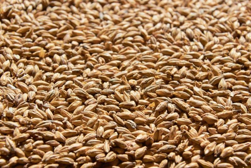 Cereali d'orzo per trama di fondo immagini stock libere da diritti