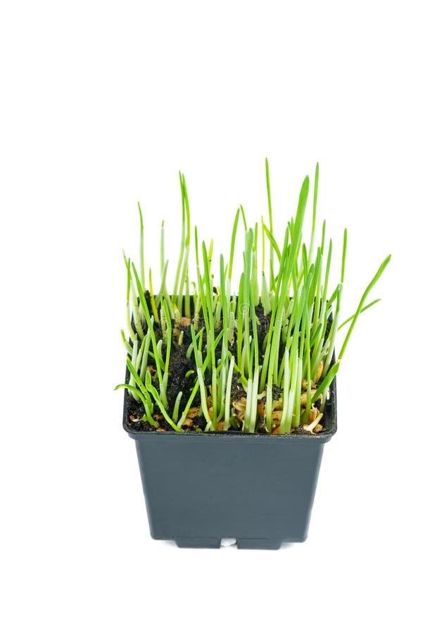 Cereali germinati in vaso di plastica nera isolati su fondo bianco immagini stock libere da diritti