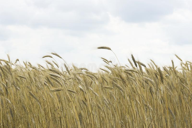 Cereals field, ripe spikes bend over the wind, sky with some clouds royalty free stock image