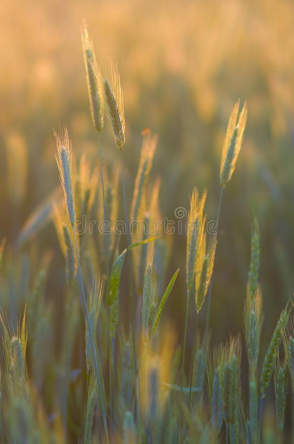 Cereals field at sunset stock photo