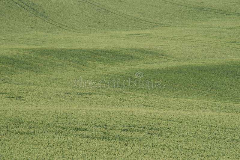 Cereals field texture with small waves stock images