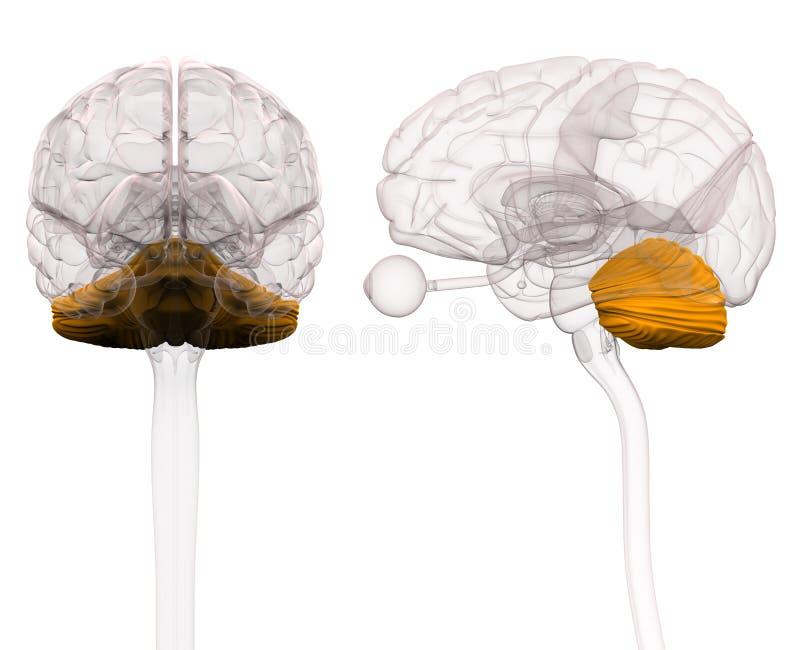 Cerebelo Brain Anatomy - ejemplo 3d stock de ilustración