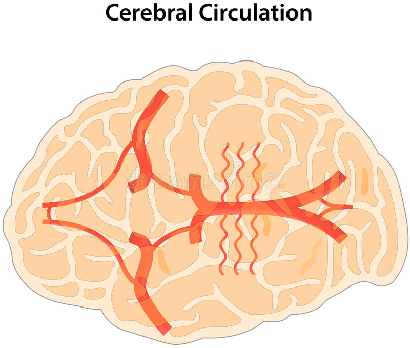 Cerebral Circulation stock vector. Illustration of circulation ...