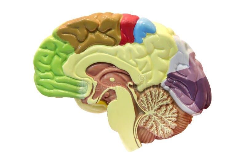 Cerebro imágenes de archivo libres de regalías