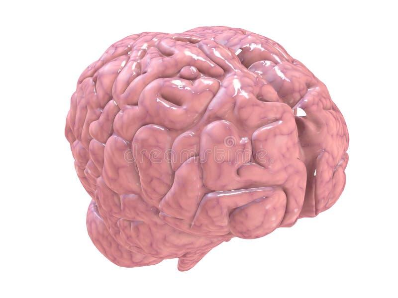 Cerebro de Humain stock de ilustración