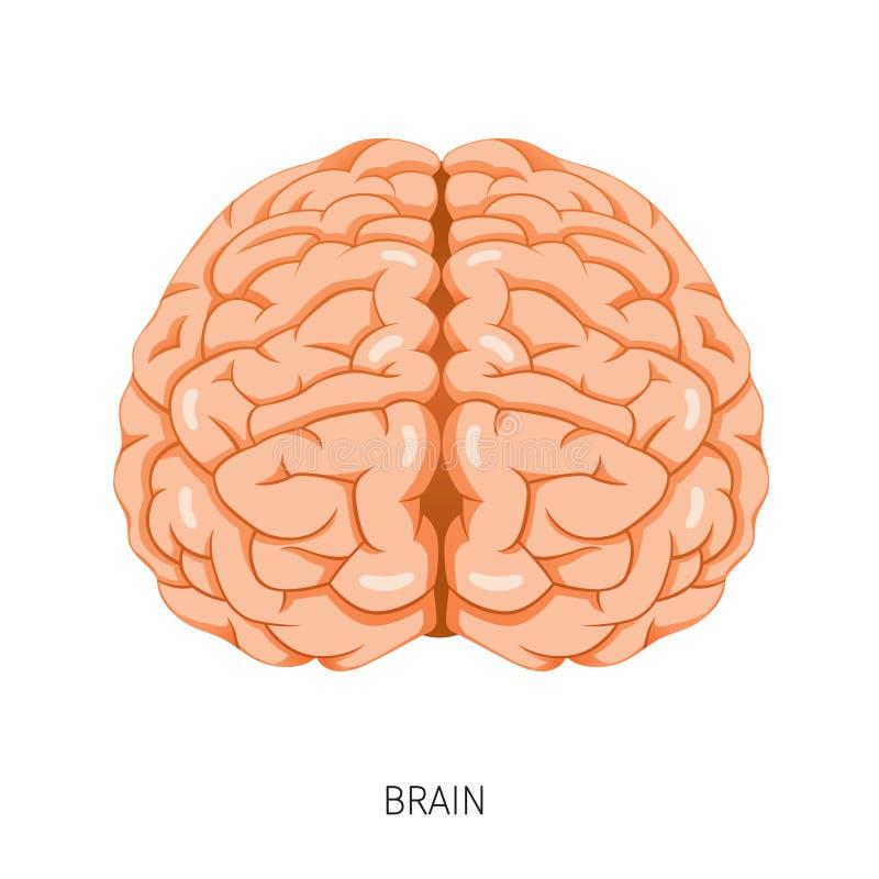 Cerebro, Diagrama Humano Del órgano Interno Ilustración del Vector ...