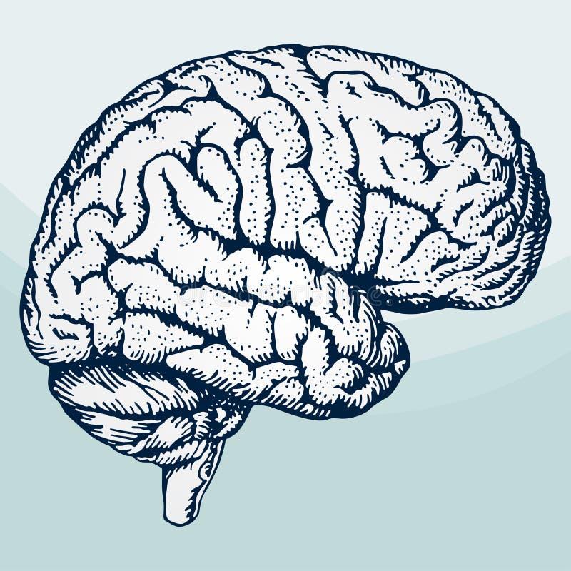 Cerebro humano stock de ilustración