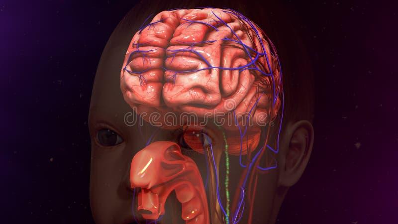Cerebro humano fotografía de archivo libre de regalías