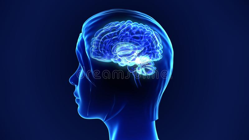 Cerebro humano imagenes de archivo