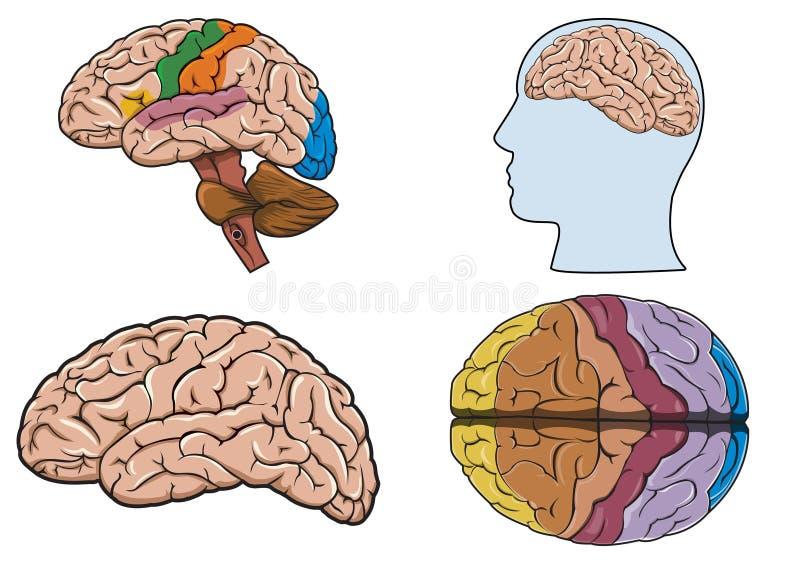 Cerebro humano adentro   ilustración del vector