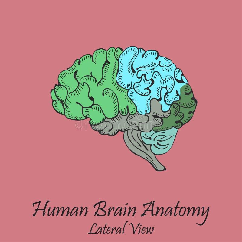 Cerebro humano coloreado dibujado mano visión lateral stock de ilustración