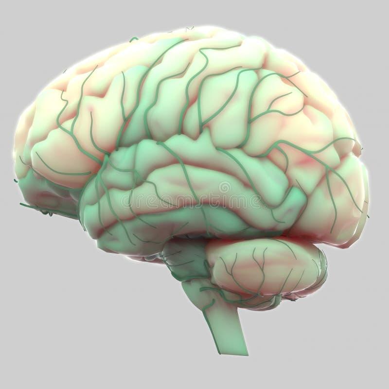 Cerebro Humano Con Anatomía De Los Nervios Stock de ilustración ...