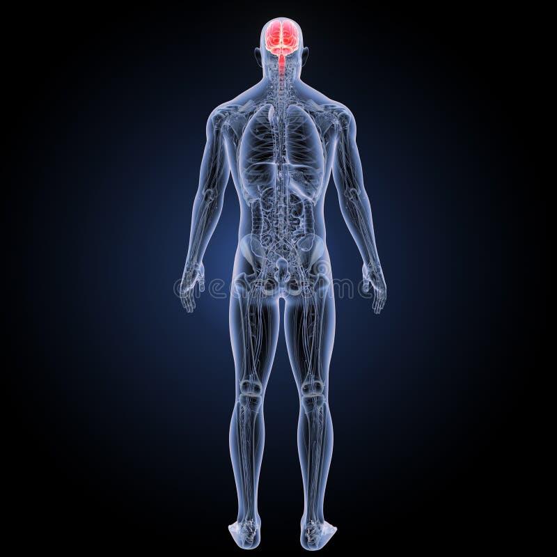 Cerebro Humano Con La Opinión Del Trasero De La Anatomía Stock de ...