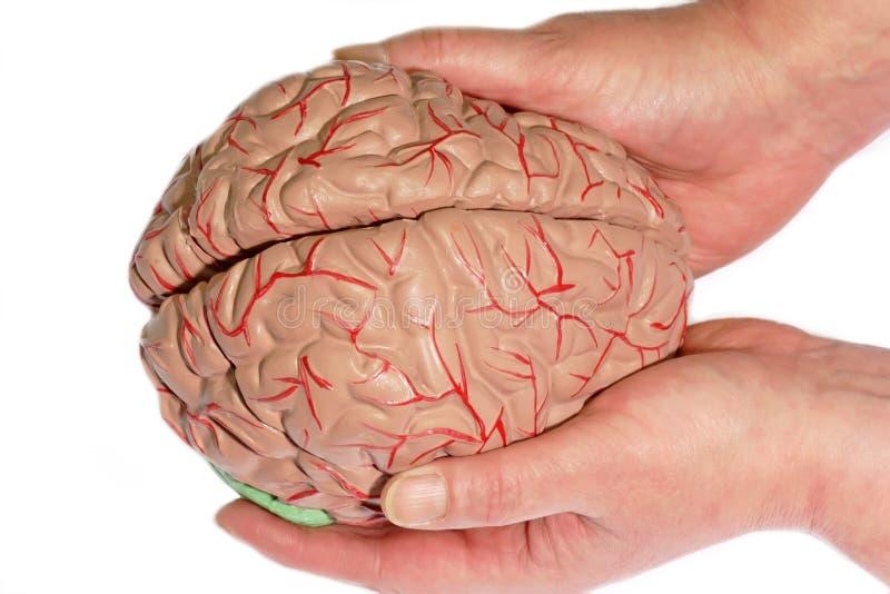 Cerebro humano de Holded foto de archivo