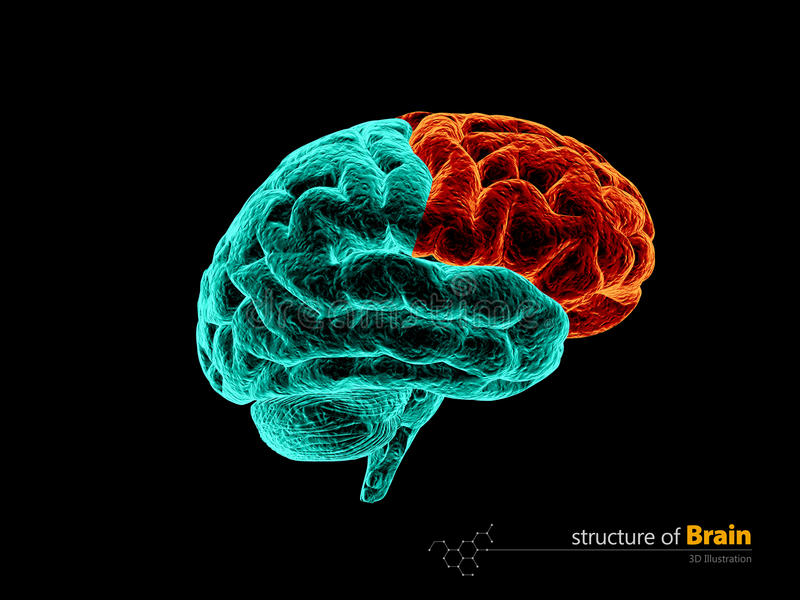 Cerebro humano, estructura de la anatomía del lóbulo frontal Ejemplo de la anatomía 3d del cerebro humano ilustración del vector