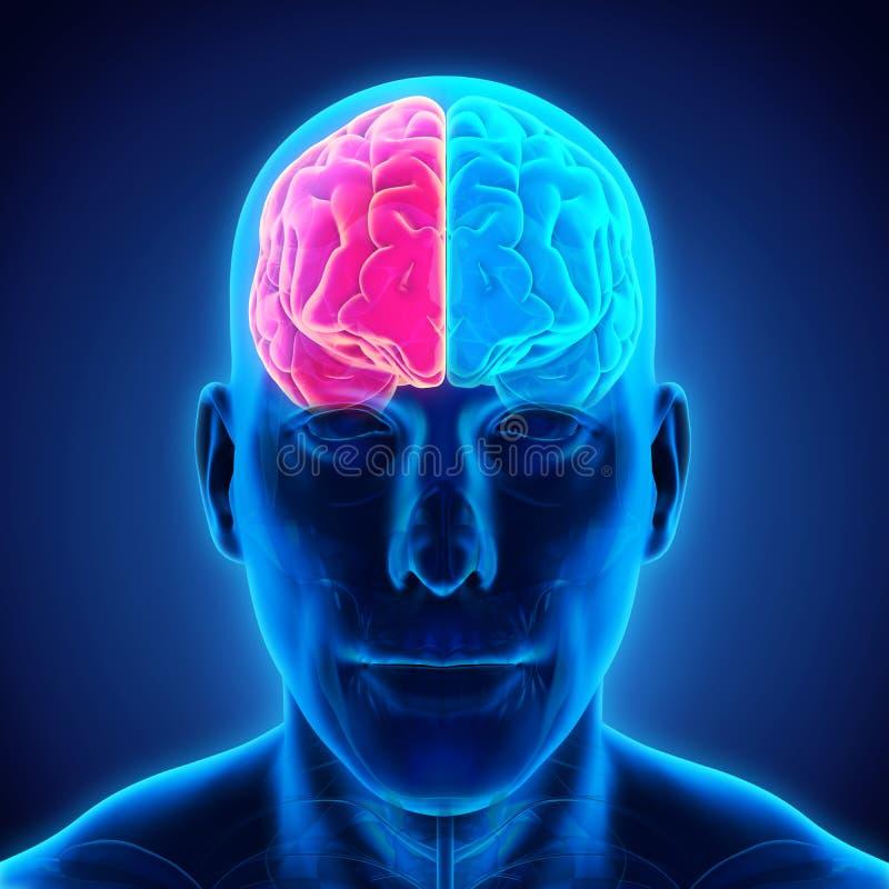 Cerebro humano izquierdo y derecho ilustración del vector