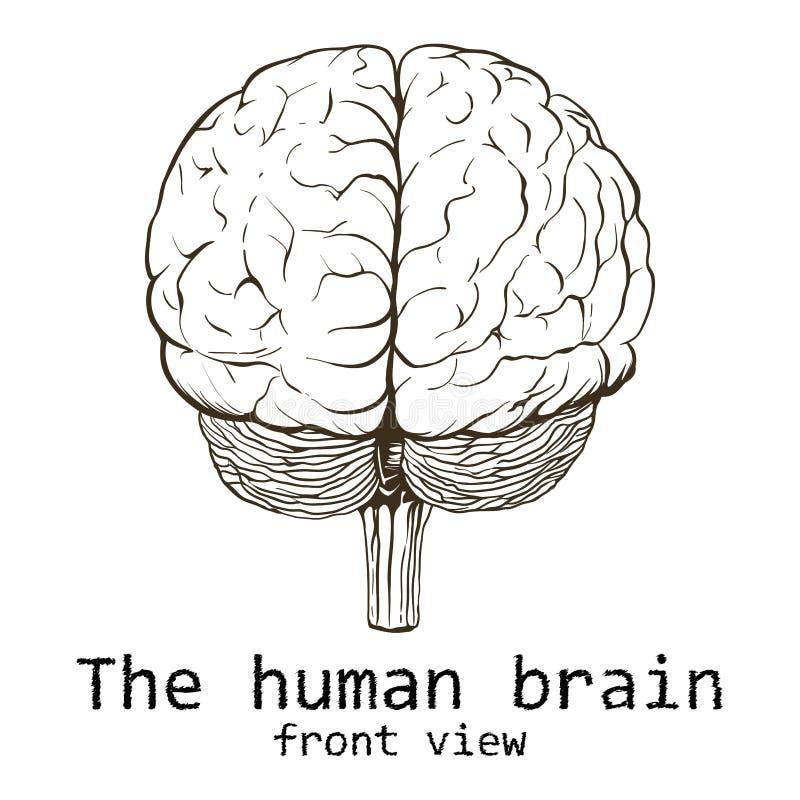 Cerebro humano pintado en un fondo blanco imagen de archivo libre de regalías