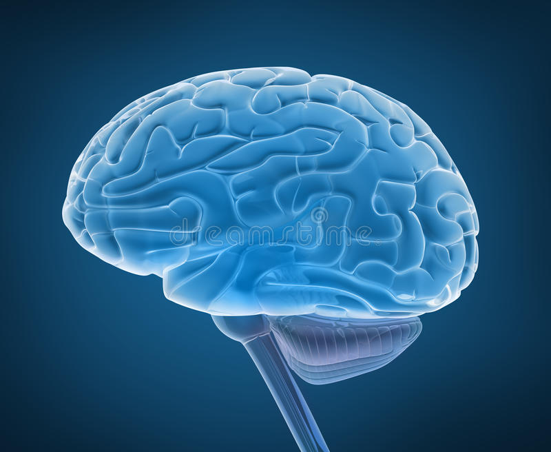 Cerebro humano y médula espinal ilustración del vector