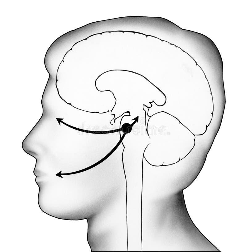 Cerebro - migración del virus de herpes ilustración del vector