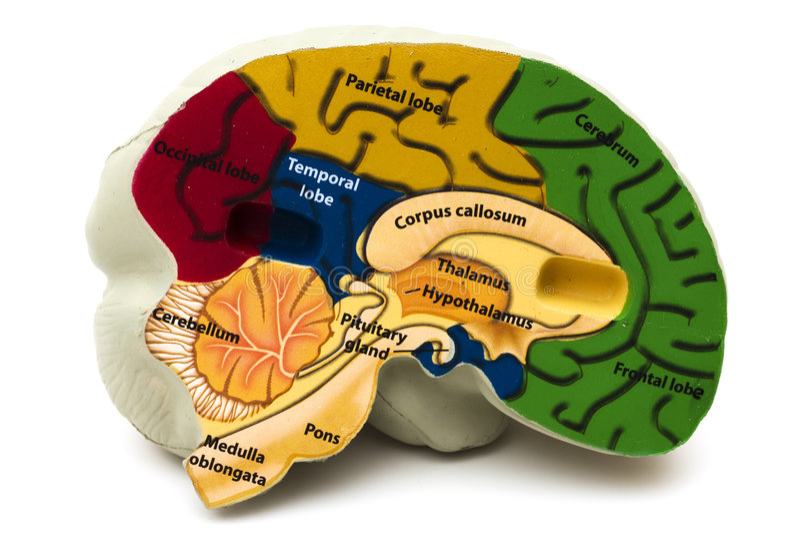 Cerebro modelo imagen de archivo