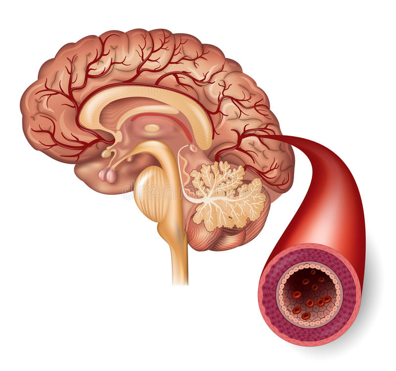 Cerebro normal y arteria ilustración del vector