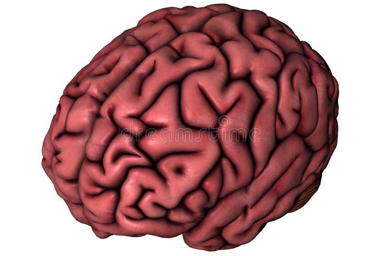 Cerebro oblicuo humano stock de ilustración