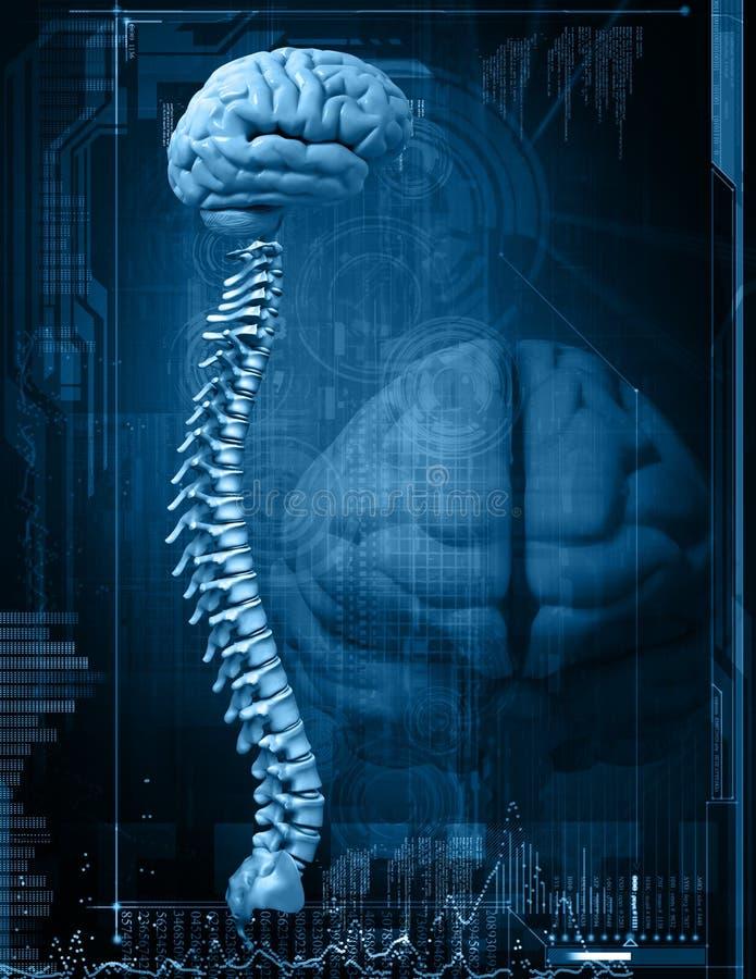Cerebro y espina dorsal stock de ilustración