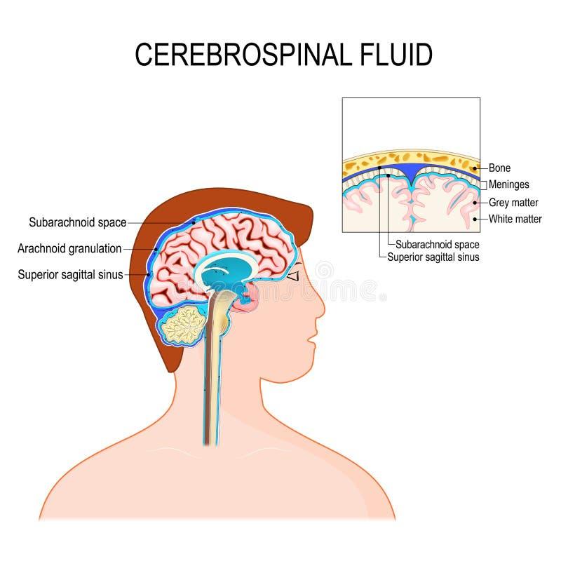 Cerebrospinal fluid CSF jest jasnym fluidem w rdzeniu kręgowym i mózg ilustracja wektor