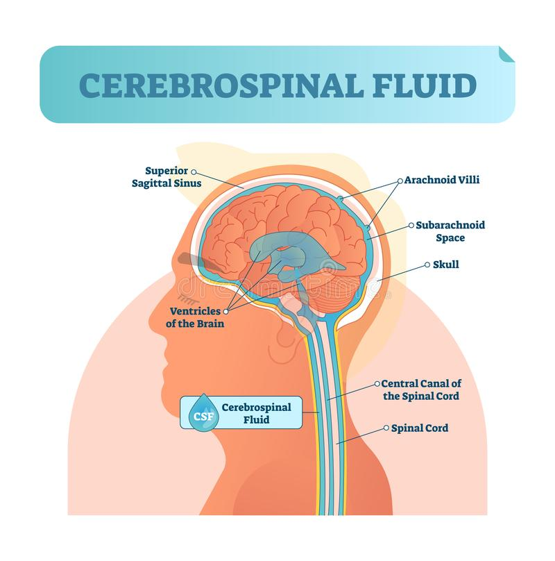 Cerebrospinal fluid vector illustration. Anatomical labeled diagram - human superior sigittal sinus and spinal cord central canal. royalty free illustration