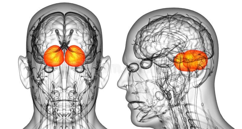 cerebrum человеческого мозга иллюстрация вектора