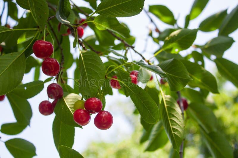 Cereja ácida vermelha em um ramo de árvore em um jardim, fundo da natureza imagens de stock royalty free