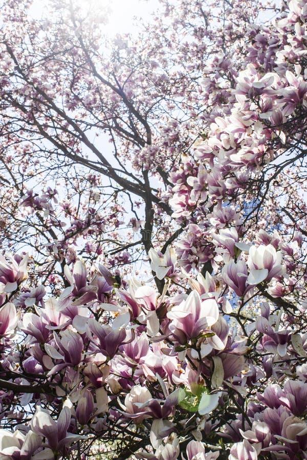Cereja-árvore foto de stock