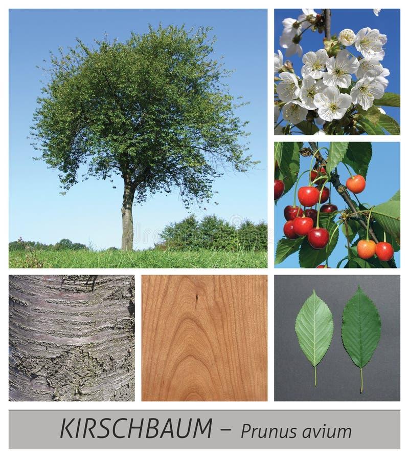 cereja, árvore de cereja, flor, flor de cerejeira, primavera, mola imagem de stock