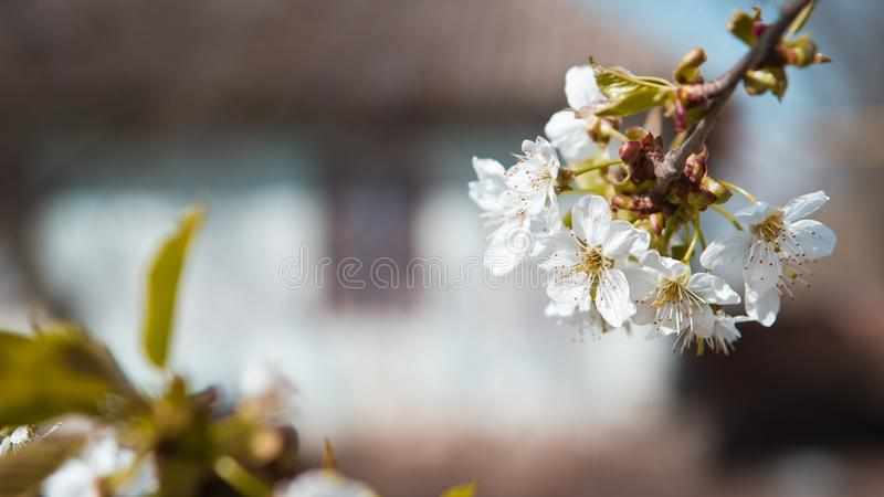 A cereja bonita e macia floresce com uma silhueta de uma casa de campo em uma manhã da mola imagens de stock royalty free