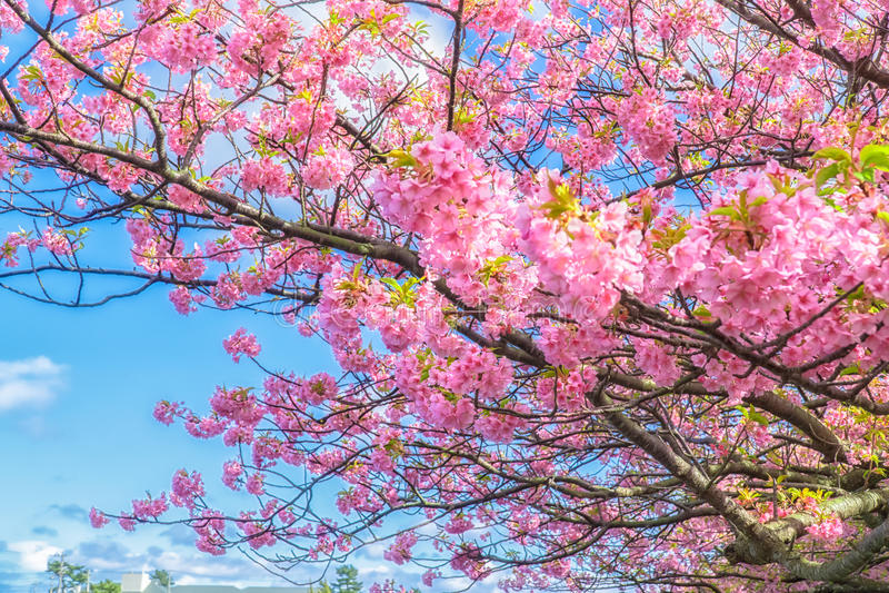 Cereja bonita que floresce, a primeira florescência de Kawazu em Japão foto de stock royalty free