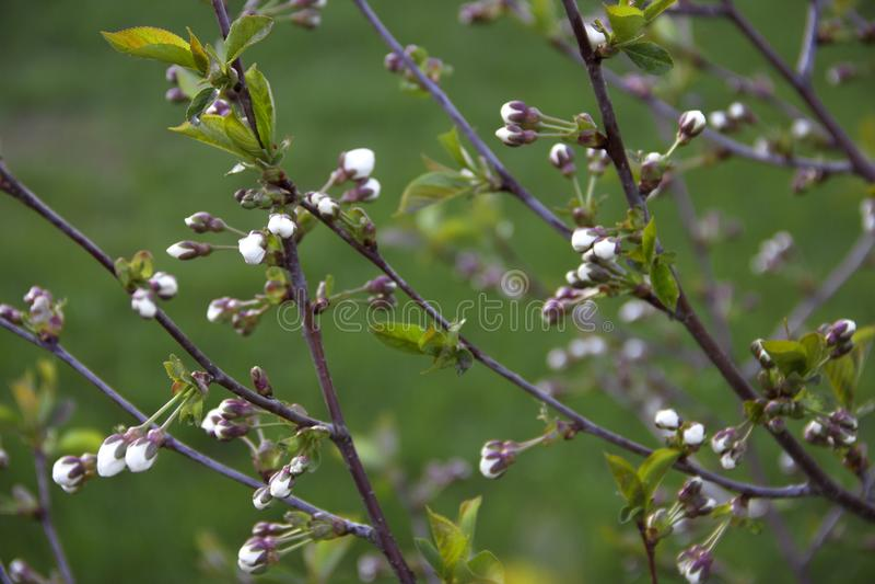 A cereja da cereja da árvore ramifica fundo do borrão do rosa do verde da flor das folhas fotos de stock royalty free