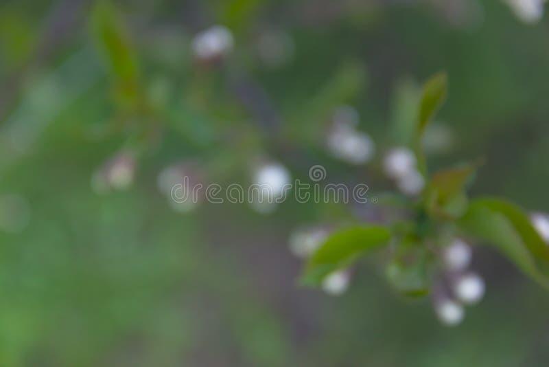 A cereja da cereja da árvore ramifica fundo do borrão do rosa do verde da flor das folhas imagens de stock