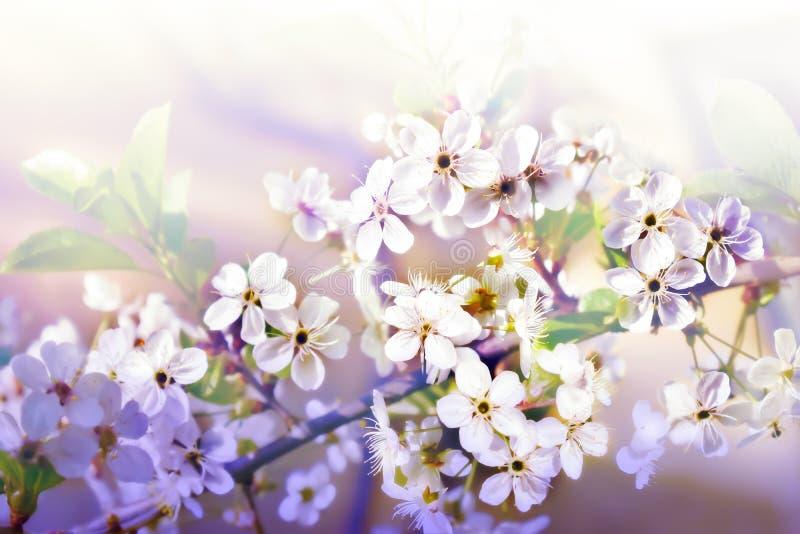 A cereja da flor do ramo na mola bonita do fundo branco floresce foto de stock