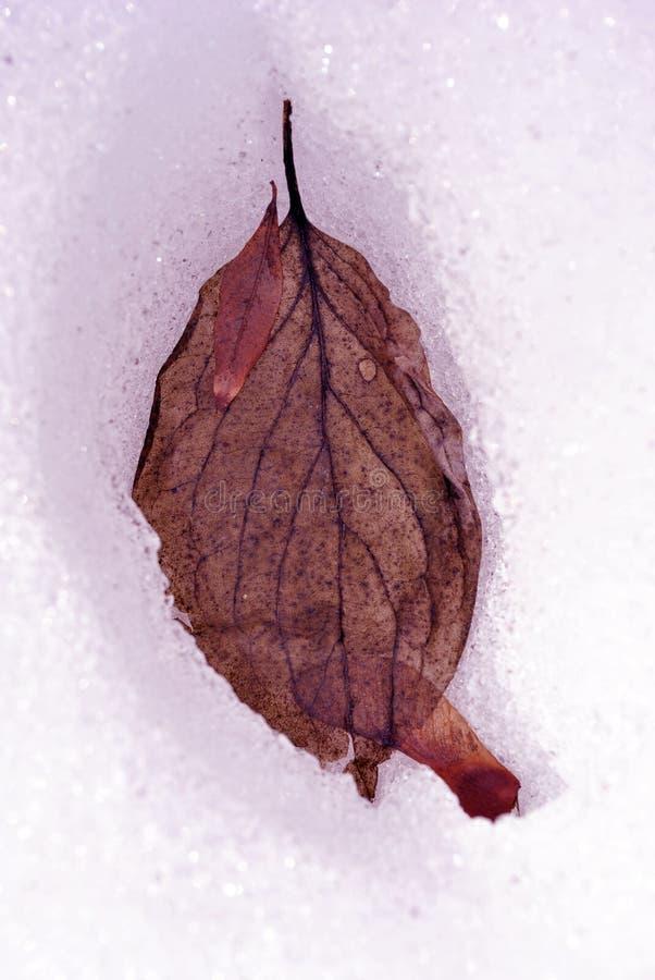 Cereja de cornalina vermelha seca do mas do Cornus, cornel europeu ou de cereja de cornalina folha do corniso e semente do samara fotografia de stock royalty free