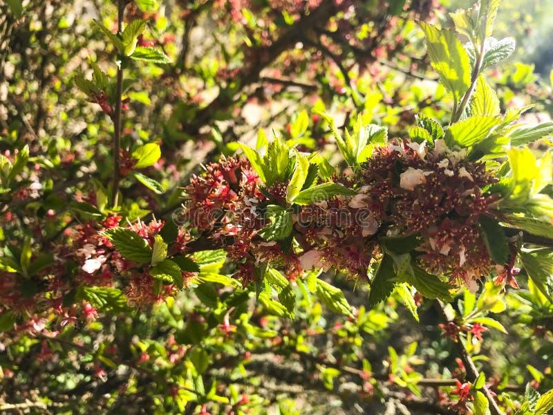 Cereja de florescência Cerasus de Nanking, tomentosa do Prunus na mola foto de stock royalty free