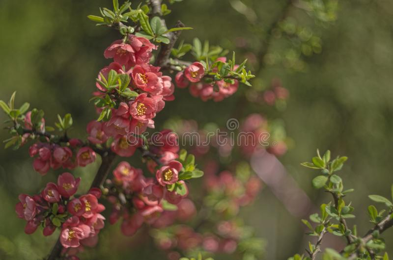 Cereja de florescência de Felted fotos de stock royalty free