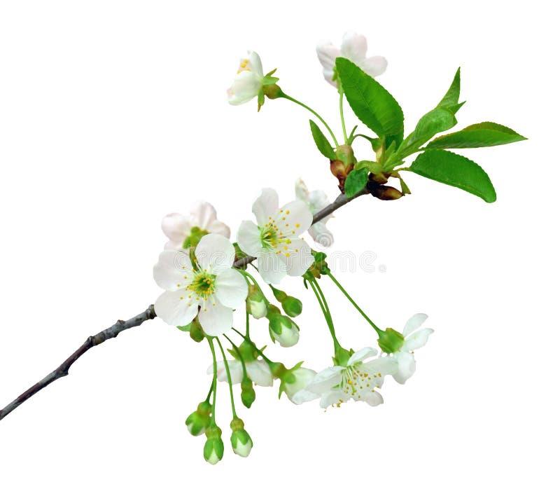 Cereja de florescência Isolado no fundo branco sem sombra foto de stock