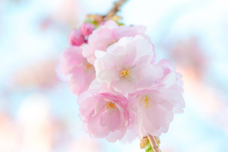 Cereja de florescência japonesa - elogios do Prunus fotos de stock
