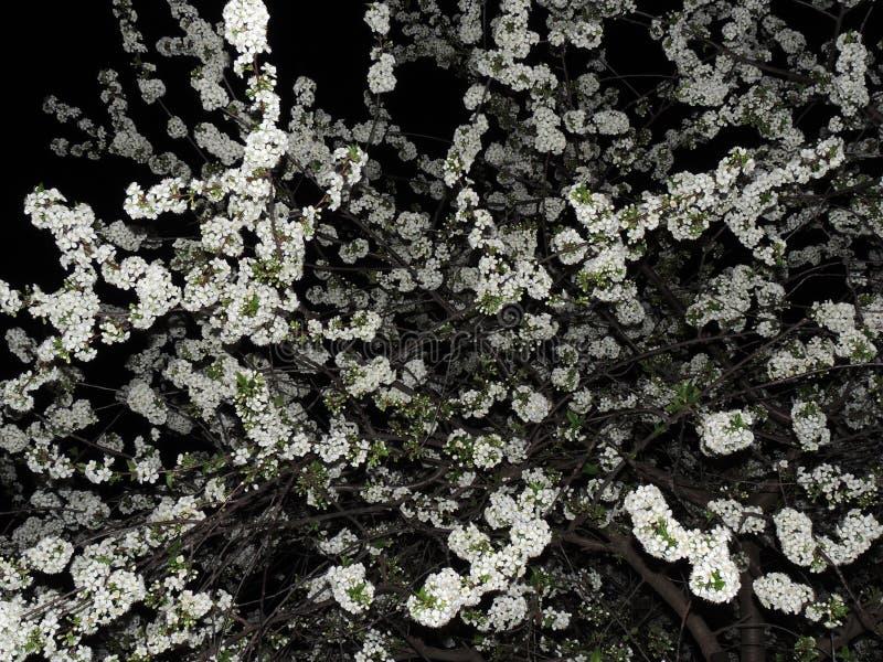 Cereja de florescência no fundo do céu noturno imagens de stock royalty free