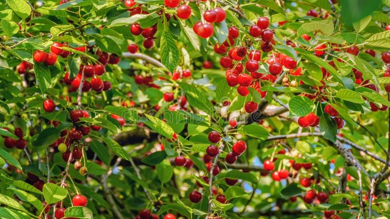 Cereja de Morello em uma árvore imagens de stock royalty free