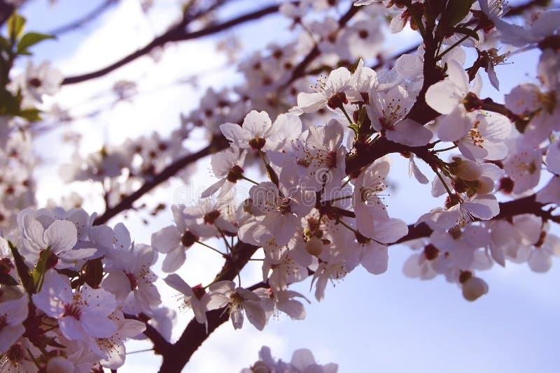 A cereja de Rosa floresce o fundo, mola imagem de stock